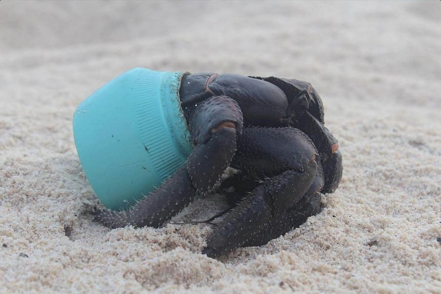 One of many hundreds of crabs that now make their homes out of plastic debris washed up on Henderson Island in the Pitcairn island group. This particular item is an Avon cosmetics jar.