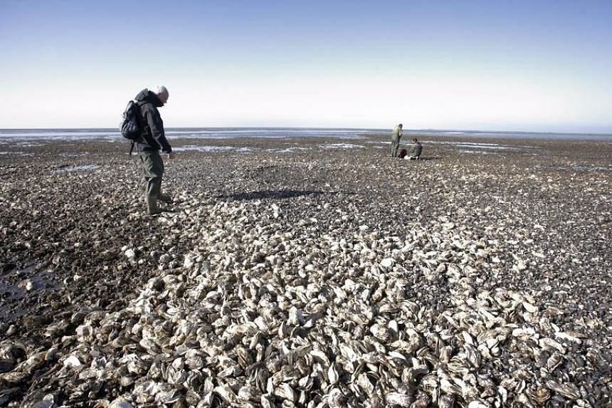 Danish beaches are plagued with an infestation of Pacific oysters.