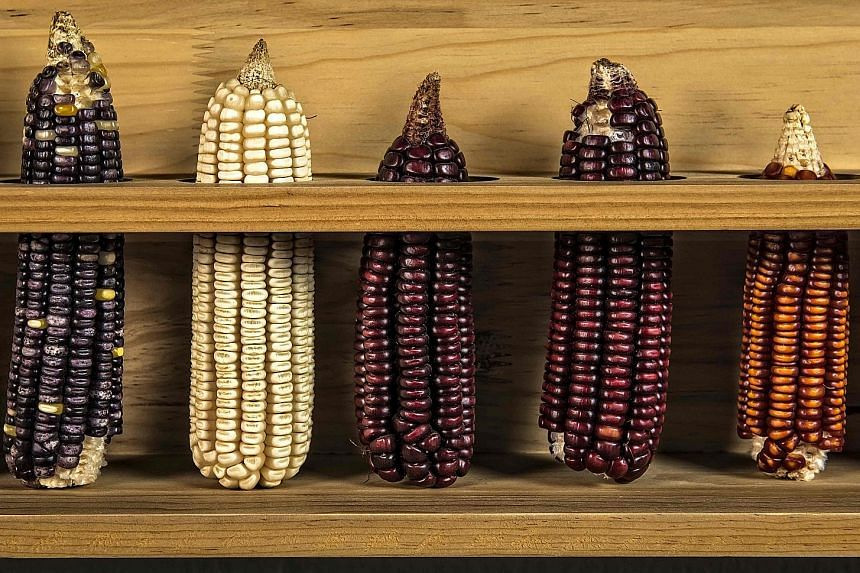 The Trump administration is likely to face pressures from the US corn industry to maintain market access to Mexico, one of its biggest customers. Above are different varieties of Mexican corn.