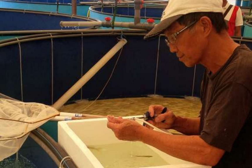 Mr Tan Kay Heok, chief technical officer of fish farm Marine Life Aquaculture, vaccinating a fish.