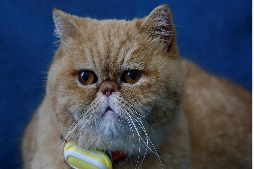 A cat wears SmartTag, a device manufactured by Suga International Holdings to monitor the activity levels of pets.