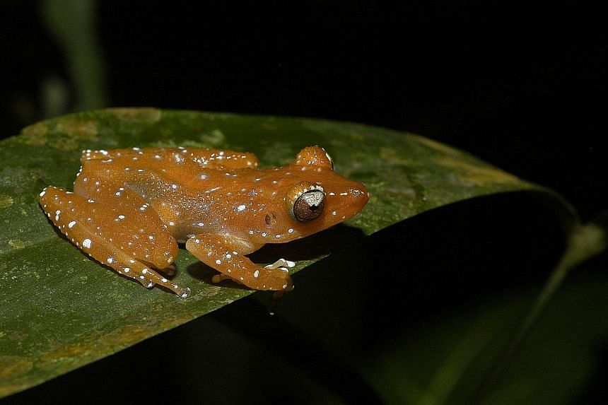 The orchid Acriopsis ridleyi has not been seen since 1889. The Hawksbill Turtle is one of one of the species in NParks' Species Recovery Programme. One of the species in NParks' Species Recovery Programme is the Cinnamon Bush Frog. The coral Favites