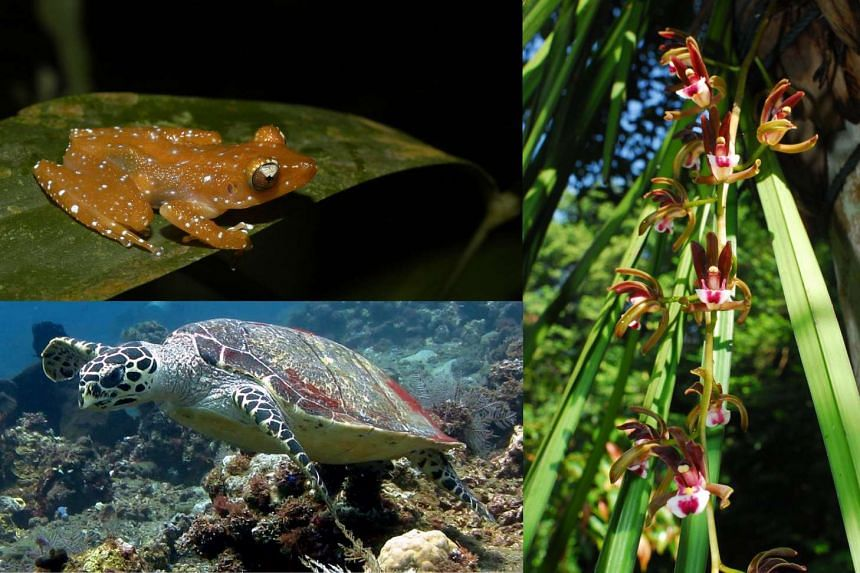 (Clockwise) Cinnamon Bush Frog, orchid Cymbidium atropurpureum and Hawksbill Turtle, species in NParks' Species Recovery Programme.