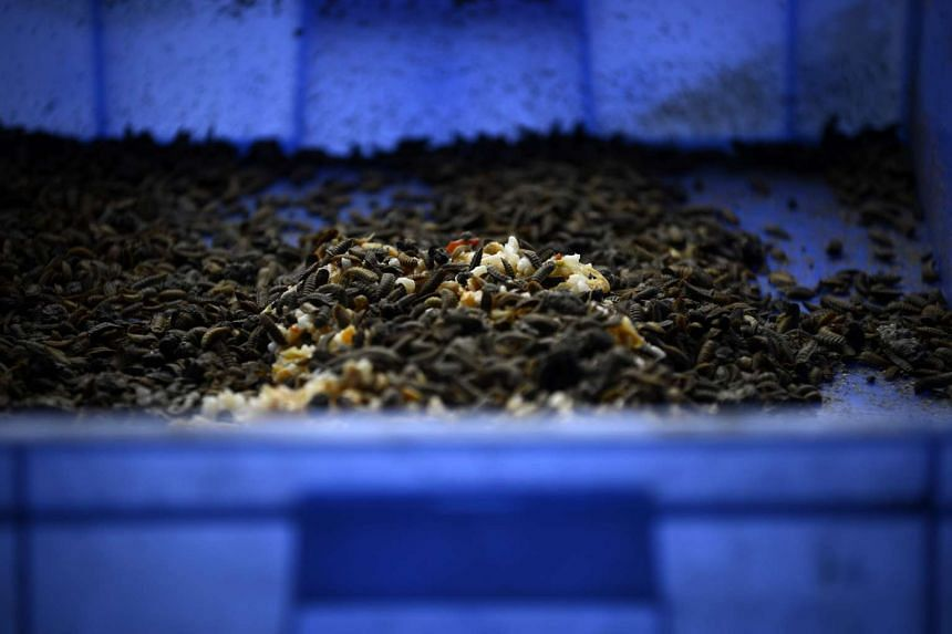 Black soldier fly larvae doing their work on food waste at a farm in Pengshan, in south-west China's Sichuan province.