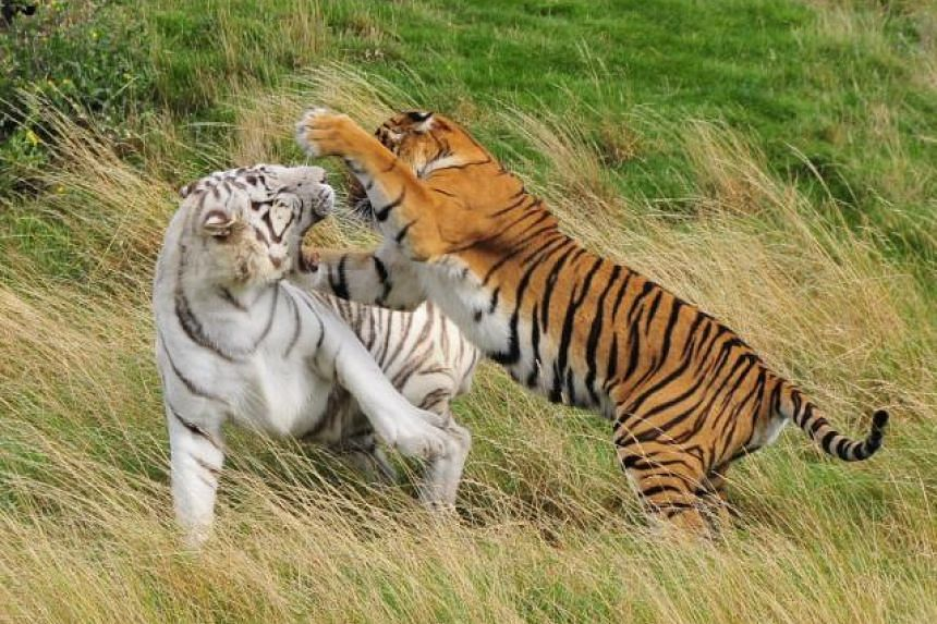 Photo of Bengal tigers posted on the Hamerton Zoo Park website.