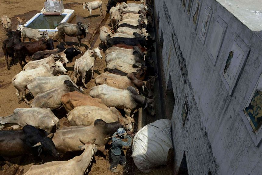 An Indian caretaker feeds cows at a cow shelter in New Delhi.