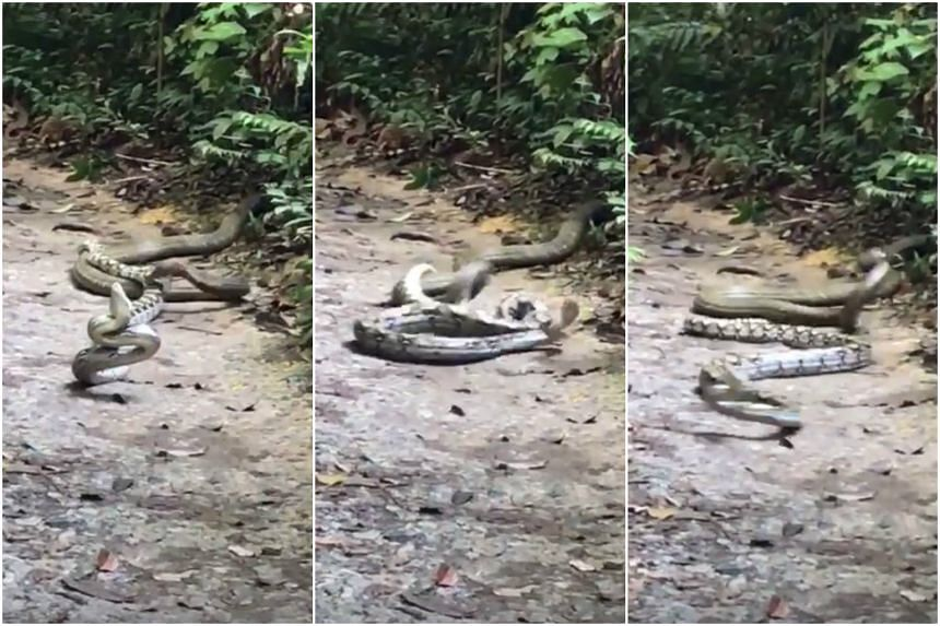 The two large snakes were spotted locked in battle along a trail at MacRitchie Reservoir Park.