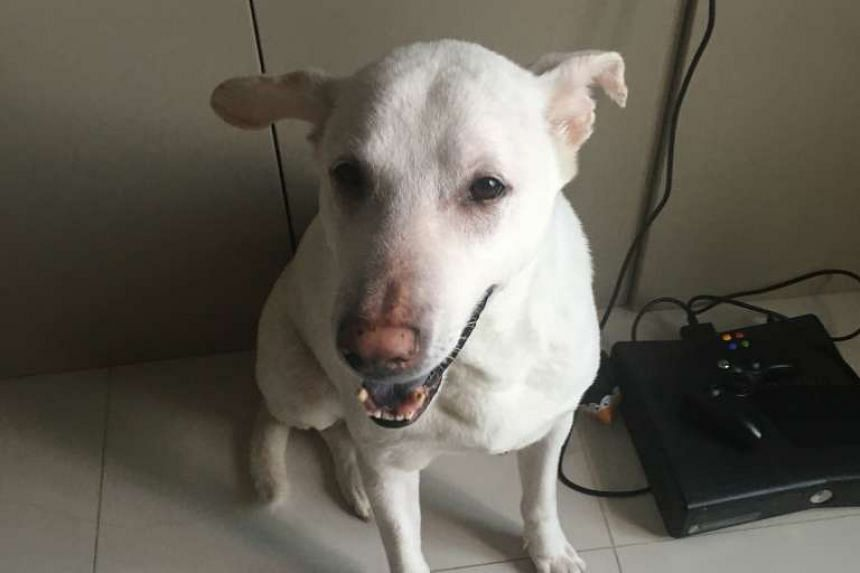 Momo was one of the unlicensed dogs kept by Joseph Tang Yew Liang, who was fined $4,800 by the Agri-food and Veterinary Authority (AVA). PHOTO: AVA