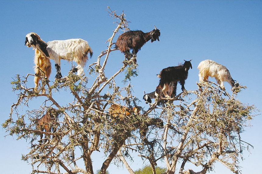 In dry southern Morocco, domesticated goats climb to the top of native argan trees for fresh forage.Spanish ecologists have observed an unusual way in which the goats may be benefiting the trees, said the Ecological Society of America. The researcher