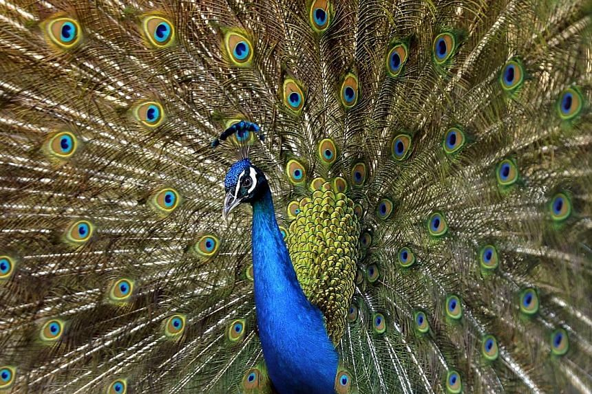 A peacock displaying its full glory. Professor Richard Prum is attempting to revive and expand Darwin's view that when animals choose mates, they make choices that are aesthetic.