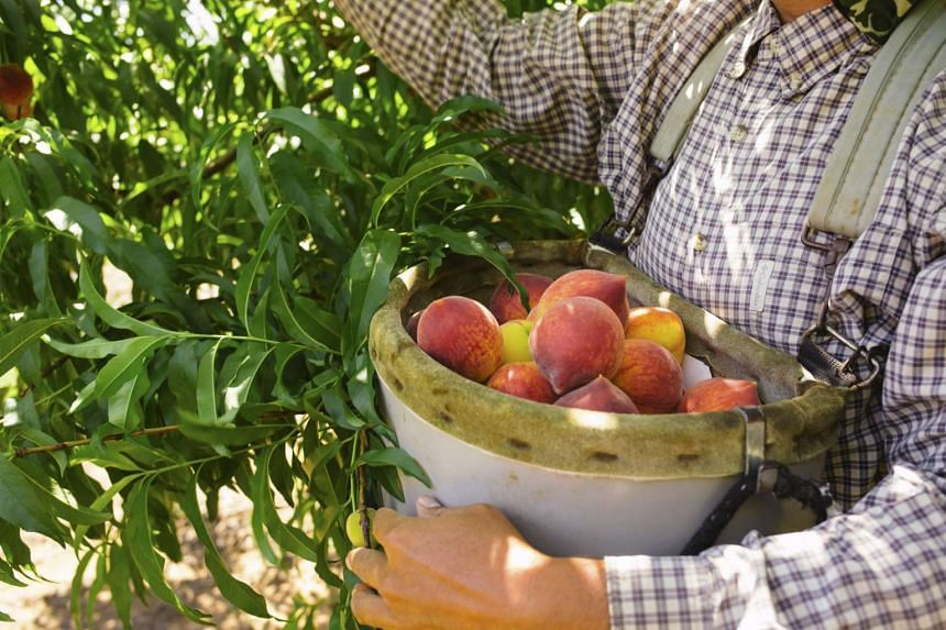 A worker collects peaches at Pearson Farm in Fort Valley, Georgia. PHOTO: NYTIMES