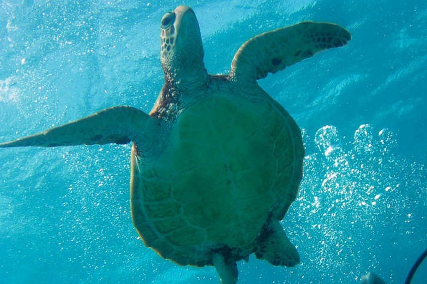 Scientists said exposure to the substances had caused side effects in the turtles, with indications of inflammation and liver dysfunction.