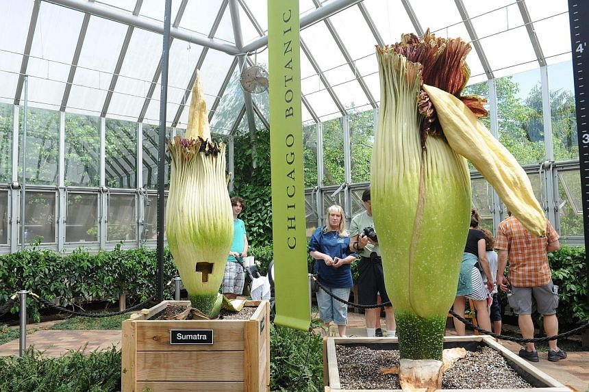 Visitors are treated to an extremely rare sight at the Chicago Botanic Garden in Chicago, Illinois, on Friday - the blooming of two corpse flowers. It is unusual enough to see one of nature's biggest, rarest, not to mention smelliest, flowers bloom,