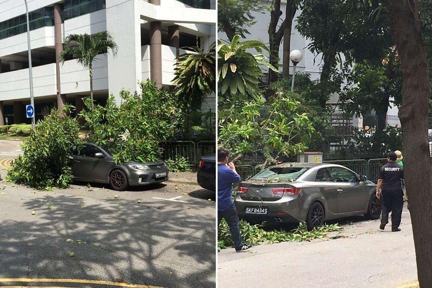 A mango tree fell on a car, smashing its rear windscreen. No one was injured.
