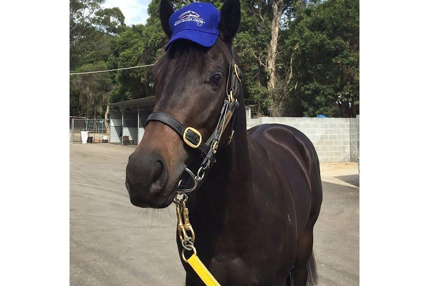 Race horse Horsey McHorseface after winning its first race in Cessnock on June 5, 2017.