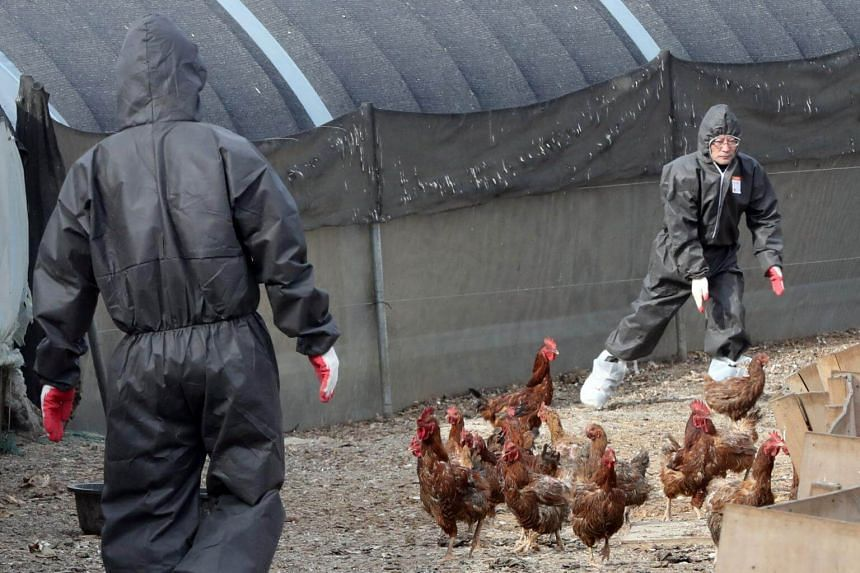 South Korean health officials chase chickens at a poultry farm where a bird flu virus broke out in Ulsan, South Korea, on June 5, 2017.