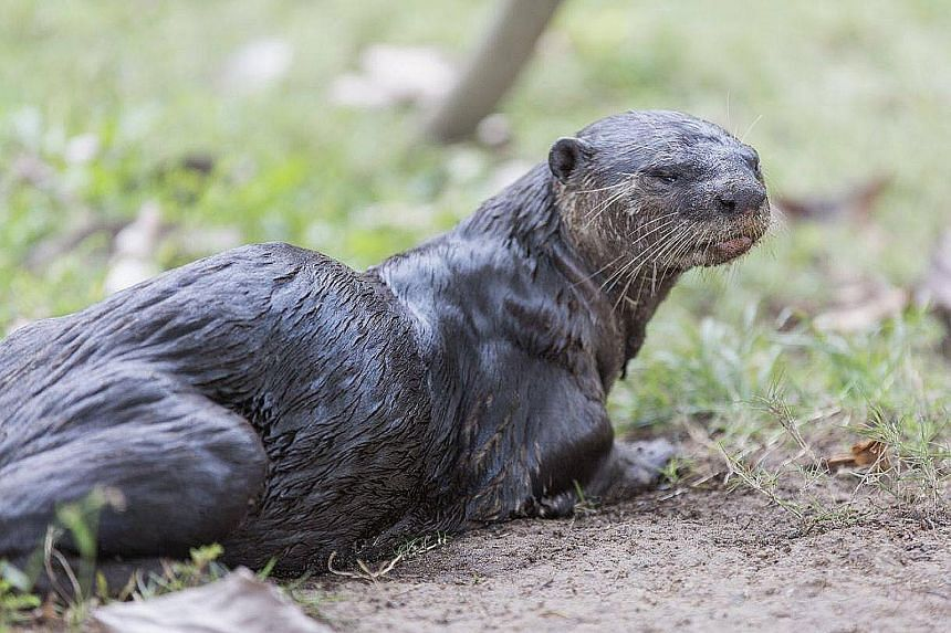 A photo taken on Tuesday of the alpha male. In the past week, otter watchers have found blood in its spraint, or dung. The otter seemed weaker, and was spotted vomiting. It was last seen alive on Wednesday.