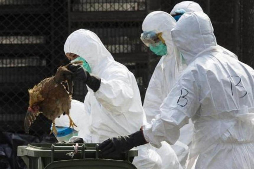 A health worker removes a dead chicken at a wholesale poultry market in Hong Kong on Jan 28, 2014.