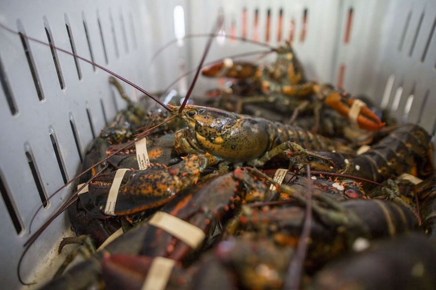The lobster eggs were eventually released on Carita Beach in Banten, with only 256 kept as evidence.