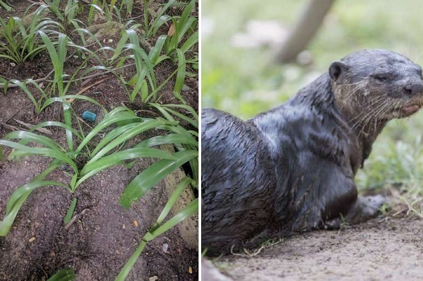 A dog was recently poisoned by rat poison found on the path along the Singapore River, but the recent death of an otter is unlikely to be due to the same poison, says Pest control firm Rentokil.