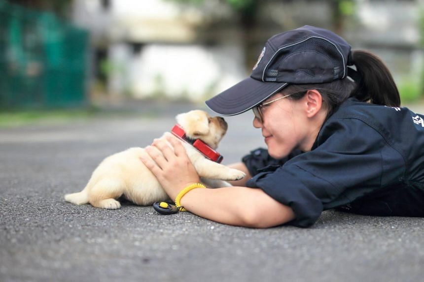 The one-month-old labrador puppy, Fuxing, will be trained as a blood detection dog.