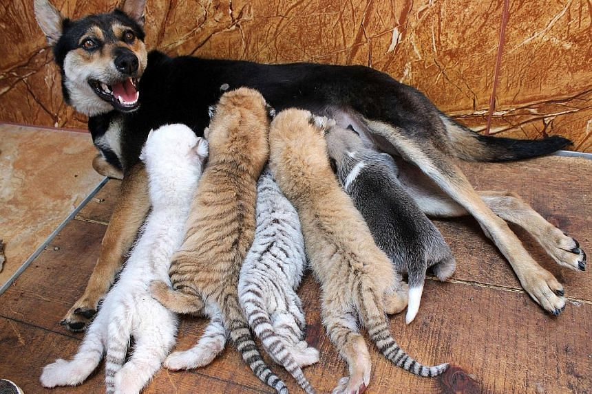A dog feeding four rare newborn tiger cubs and a puppy on Wednesday at the Xixiakou Wild Animal Protection Zone in eastern China's Shandong province. The cubs - two golden, one white and one snow - all born last week, are not separate species but the