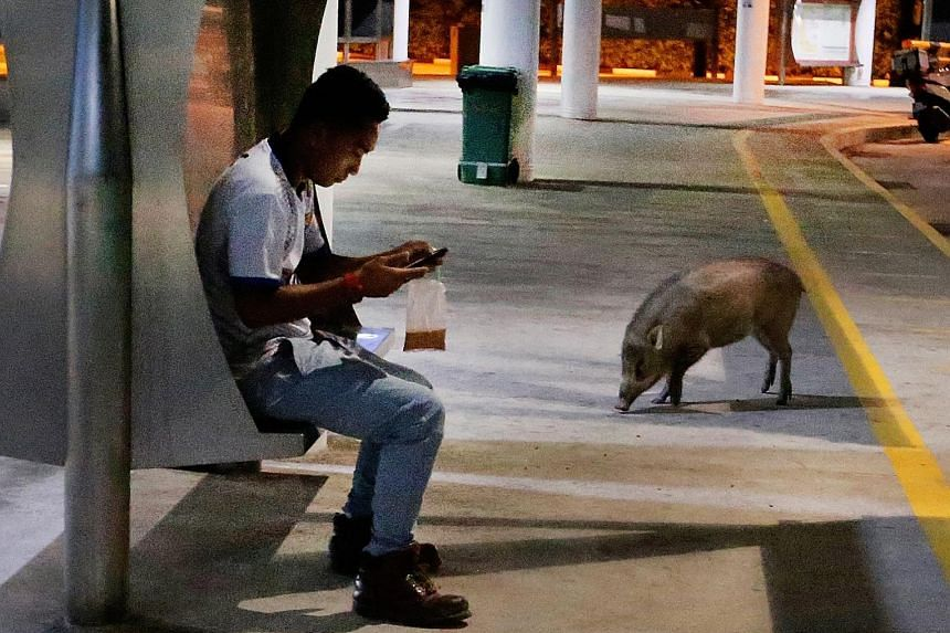 A herd of wild boars was spotted swarming a bus interchange in Tuas. In the viral video that has been circulating online, more than 15 of the animals are seen loitering on the roads within the terminal as well as trotting in front of the canteen ther