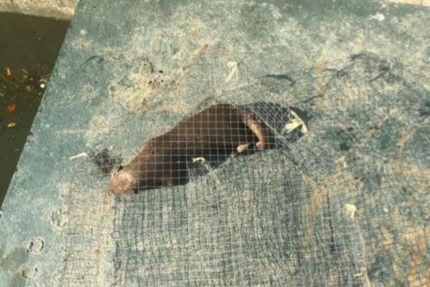 A dead otter was found in a cage along the Marina Promenade in the Kallang Basin on June 14, 2017.
