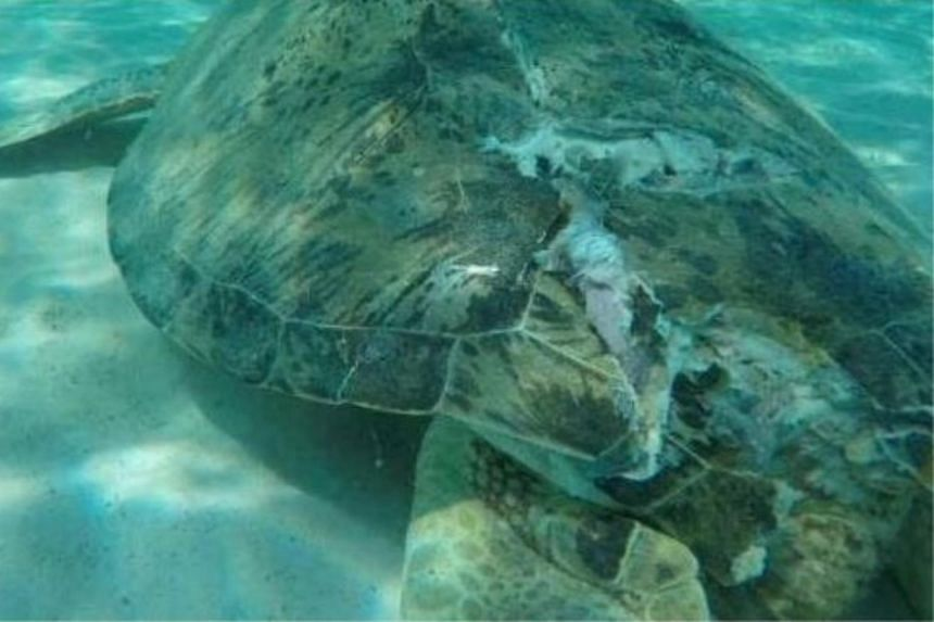 The turtle died after being hit by a boat propeller that cracked its shell and injured its lungs.