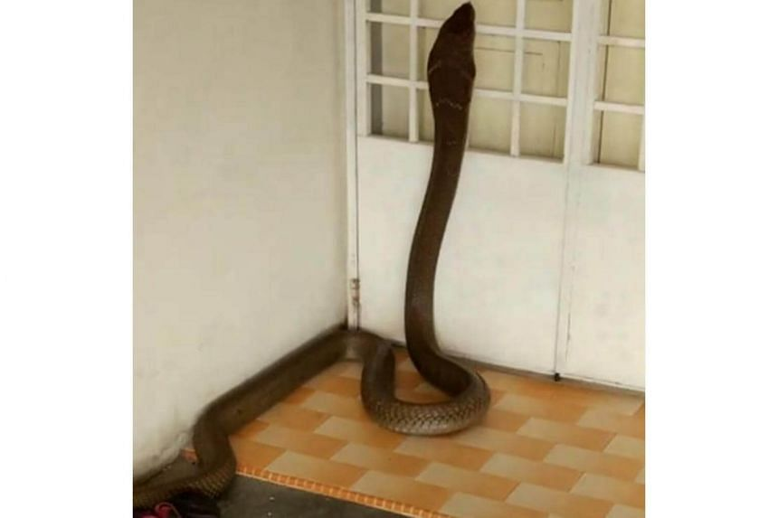 A video of a huge cobra estimated to be about eight feet long, slithering into a home in Batu Pahat, Johor, has gone viral.