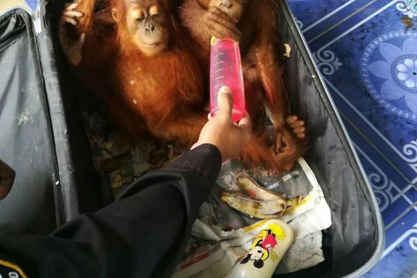 Two baby orang utans were among the animals seized by Thai wildlife officers at the Malaysia-Thailand border crossing in Padang Besar on Wednesday (June 21). The Malaysian man was also attempting to smuggle 51 tortoises and six racoons into the kingd