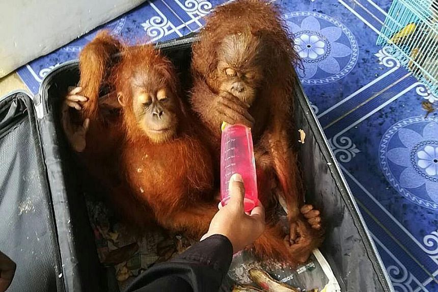 Two rescued baby orang utans on the Thai side of the Malaysia- Thailand border crossing at Padang Besar on Wednesday, after they were found inside a car driven by a Malaysian man attempting to smuggle the two animals, as well as 51 tortoises and six