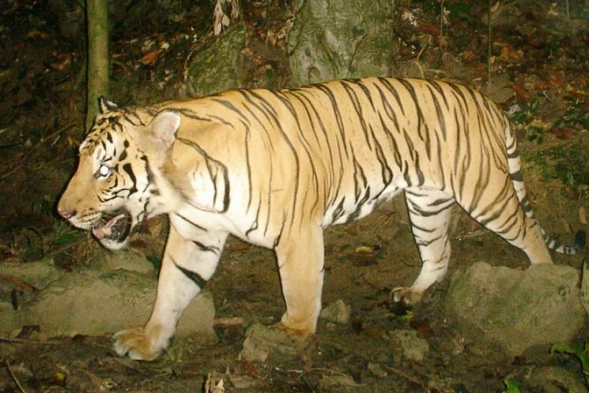 A Malayan tiger caught on camera, with MyCAT's help. There are fewer than 300 tigers left in the wild in Malaysia.