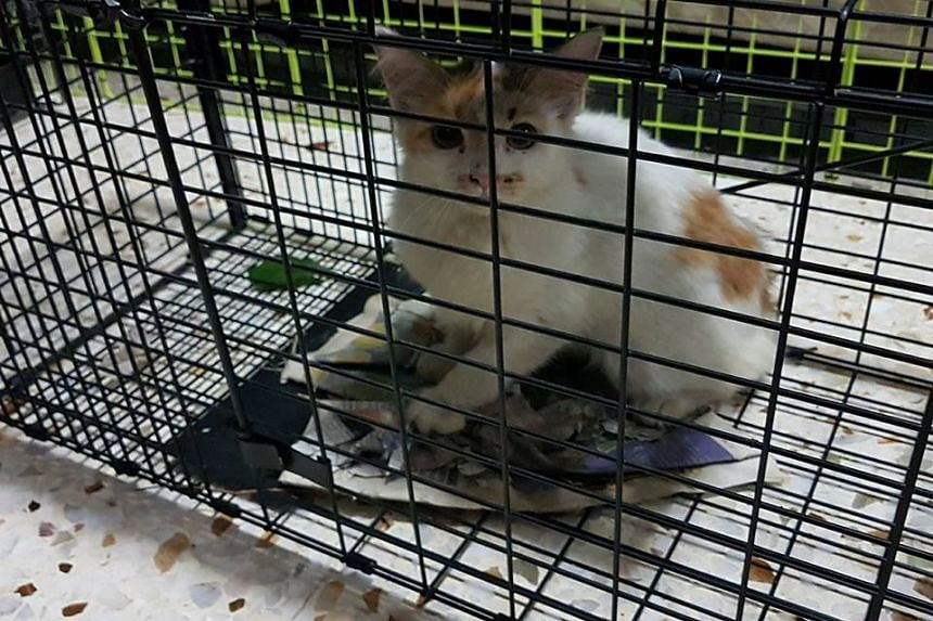 A cat rescued by Mr Mohamed Eliyas from the PIE median.
