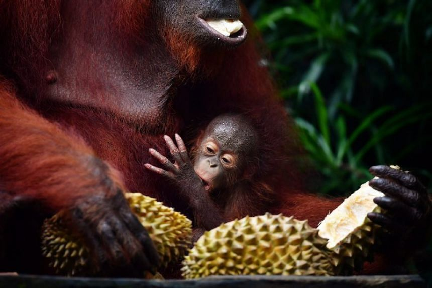 Anita and her new baby eating durian.