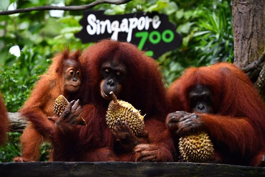 (From left) Putra, Chomel and Anita eating durians.