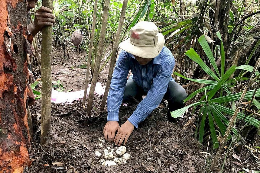 This handout photo taken on May 8, 2017 released by the Wildlife Conservation Society on June 28, 2017 shows a conservationist examining 19 eggs of world's critically endangered Siamese Crocodile along a river in Koh Kong province.