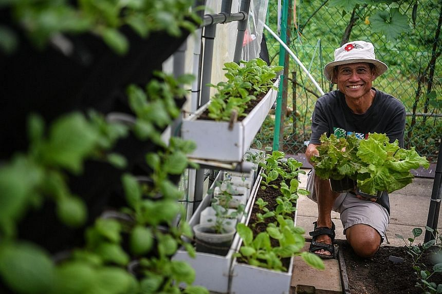 Mr Joseph Yeo grows leafy vegetables and herbs on his plot at Eng Kong Cheng Soon garden.