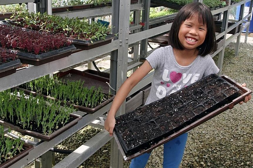Megan Chua, nine, at urban farm Pocket Greens, with a tray that she prepared and seeded.