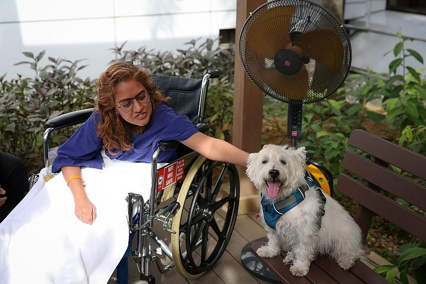 """This little doggie is Ms Sri Rathi Priya's best friend while she is recovering from surgery. Logan, a West Highland White Terrier, is part of an """"animal-assisted activity"""" run by Healing Paws to help in the healing of patients, in partnership with Mo"""