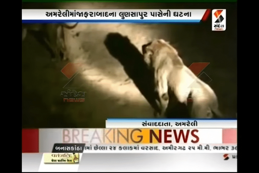 Footage from the incident where a pride of around 12 lions obstructed an ambulance carrying a pregnant woman in India
