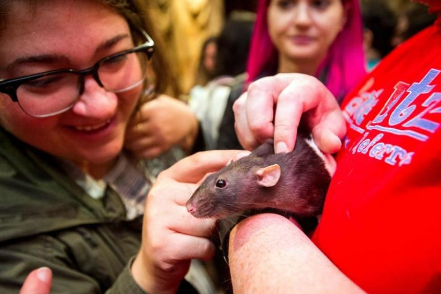 Zoe Parsigian pets Charlotte the rat during a popup Rat Cafe at the San Francisco Dungeon in San Francisco, California on July 1, 2017.