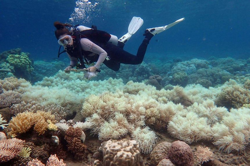 A diver examines bleaching on a coral reef on Orpheus Island.