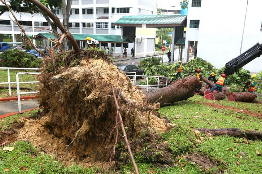 The 18m-tall tree fell due to a heavy downpour and sudden gusts of wind.