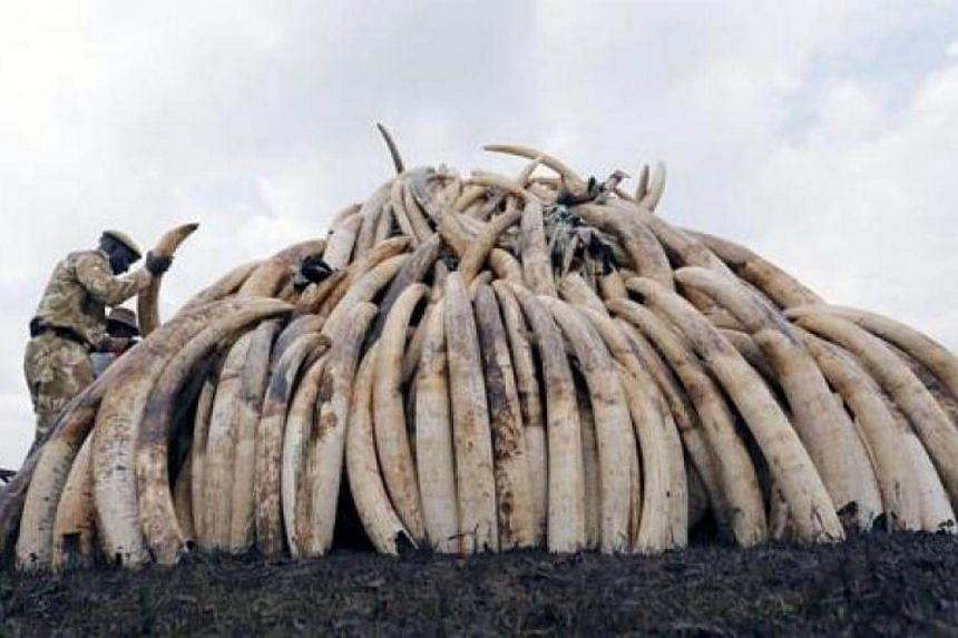 A Kenya Wildlife Service (KWS) ranger stacks elephant tusks, part of an estimated 105 tonnes of confiscated ivory to be set ablaze, on a pyre at Nairobi National Park near Nairobi, Kenya, on April 20, 2016.