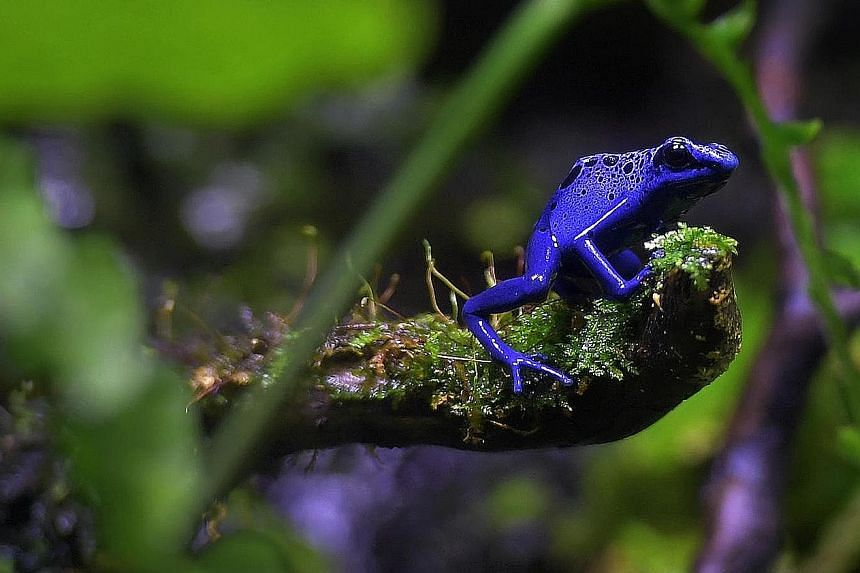 The blue poison arrow frog. The swift rise of frogs after the massive die-off was likely due to the availability of many environmental niches. A frog resting on a lily pad at the Botanical Garden in Freiburg, Germany. Frogs live in a wide range of ha