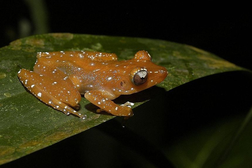 The cinnamon bush frog. Today, there are more than 6,700 known frog species, representing 55 families.