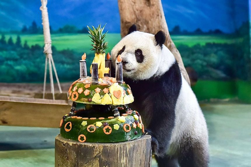 A handout photo from the Taipei Zoo showing Yuan Zai (Tiny Ball), the first Taiwan-born panda, being treated to a birthday cake in celebration of its fourth birthdayon Thursday. Yuan Zai's parents, Tuan Tuan and Yuan Yuan, were given to Taiwan by Chi