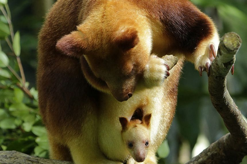 A female joey of the endangered Goodfellow's tree species will soon join its mates at the outdoor exhibit of the Singapore Zoo's Australasia zone. These tree kangaroos are among the rarest animals kept under human care, with only about 50 in zoos und