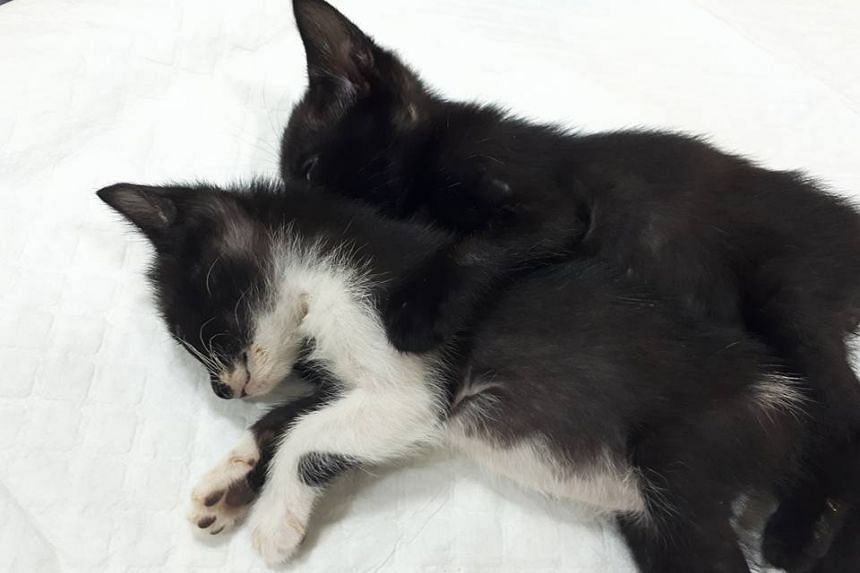 Twelve kittens and seven adult cats have died from a virus after being rescued from a cat hoarder's home in Chua Chu Kang.